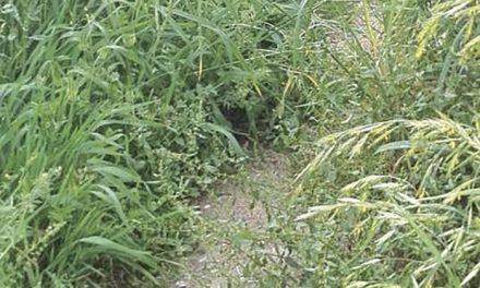 Caminho pedonal transforma-se em mato