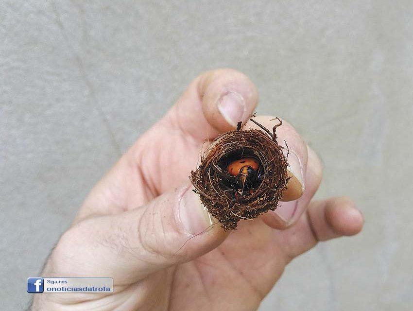 Atenção às palmeiras infestadas com o escaravelho vermelho
