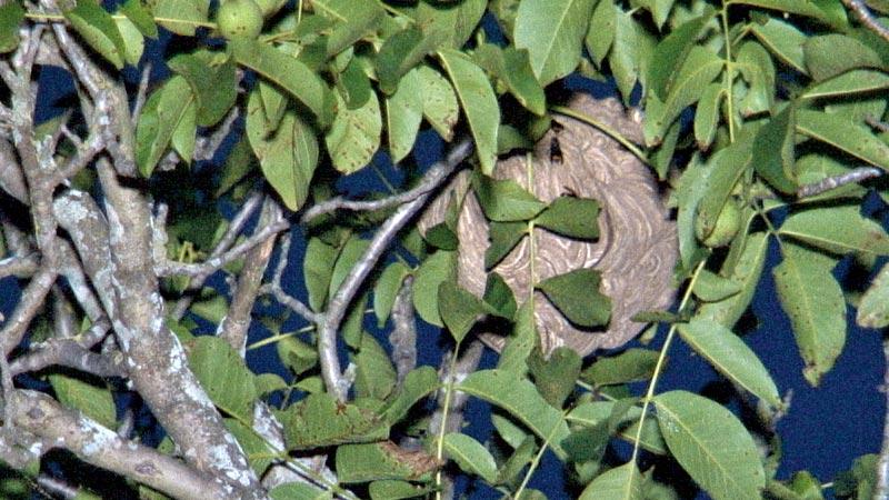 Trofa recebe apoio financeiro para combater vespa asiática