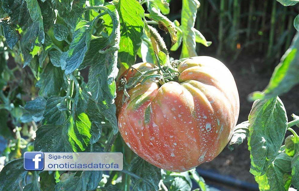 Guidoense com tomates gigantes