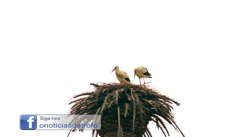 Cegonhas constroem ninho em S. Mamede (c/ vídeo)